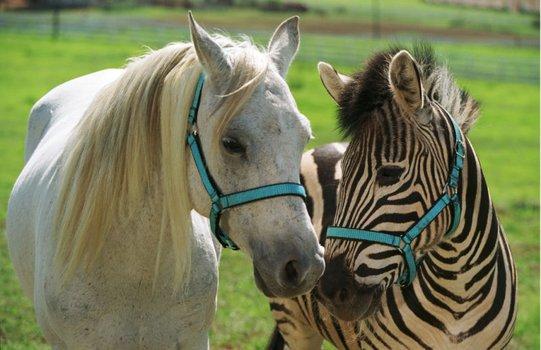 Stripes - Ein Zebra im Rennstall